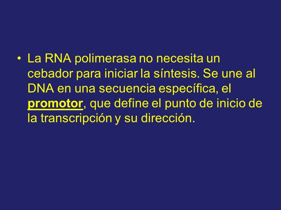La RNA polimerasa no necesita un cebador para iniciar la síntesis. Se une al DNA en una secuencia específica, el promotor, que define el punto de inic