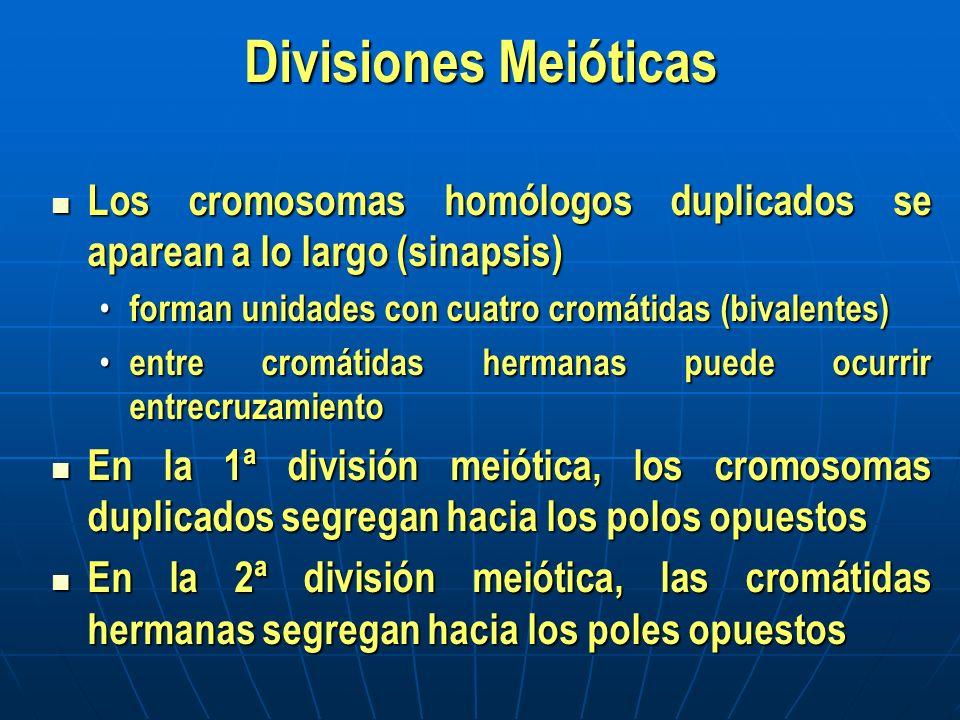 Divisiones Meióticas Los cromosomas homólogos duplicados se aparean a lo largo (sinapsis) Los cromosomas homólogos duplicados se aparean a lo largo (s