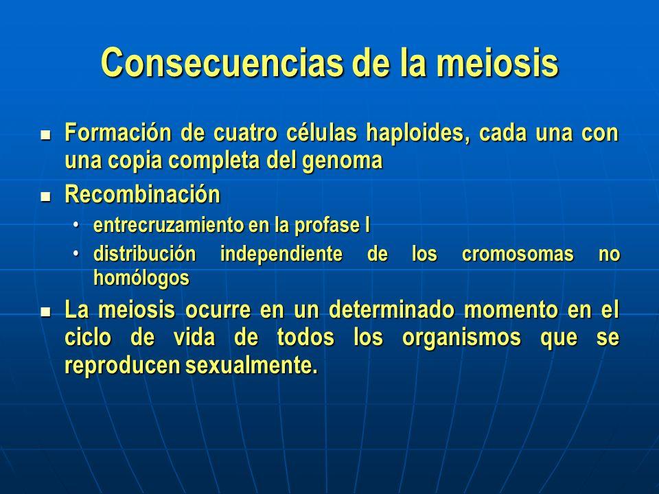 Divisiones Meióticas Los cromosomas homólogos duplicados se aparean a lo largo (sinapsis) Los cromosomas homólogos duplicados se aparean a lo largo (sinapsis) forman unidades con cuatro cromátidas (bivalentes) forman unidades con cuatro cromátidas (bivalentes) entre cromátidas hermanas puede ocurrir entrecruzamiento entre cromátidas hermanas puede ocurrir entrecruzamiento En la 1ª división meiótica, los cromosomas duplicados segregan hacia los polos opuestos En la 1ª división meiótica, los cromosomas duplicados segregan hacia los polos opuestos En la 2ª división meiótica, las cromátidas hermanas segregan hacia los poles opuestos En la 2ª división meiótica, las cromátidas hermanas segregan hacia los poles opuestos