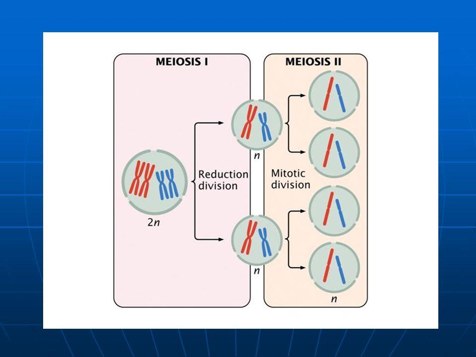 Segregaciones meióticas Segregaciones meióticas Bivalente meiosis I meiosis II Cromosomas con una cromátida ¿Todas las células resultantes de la meiosis son iguales?