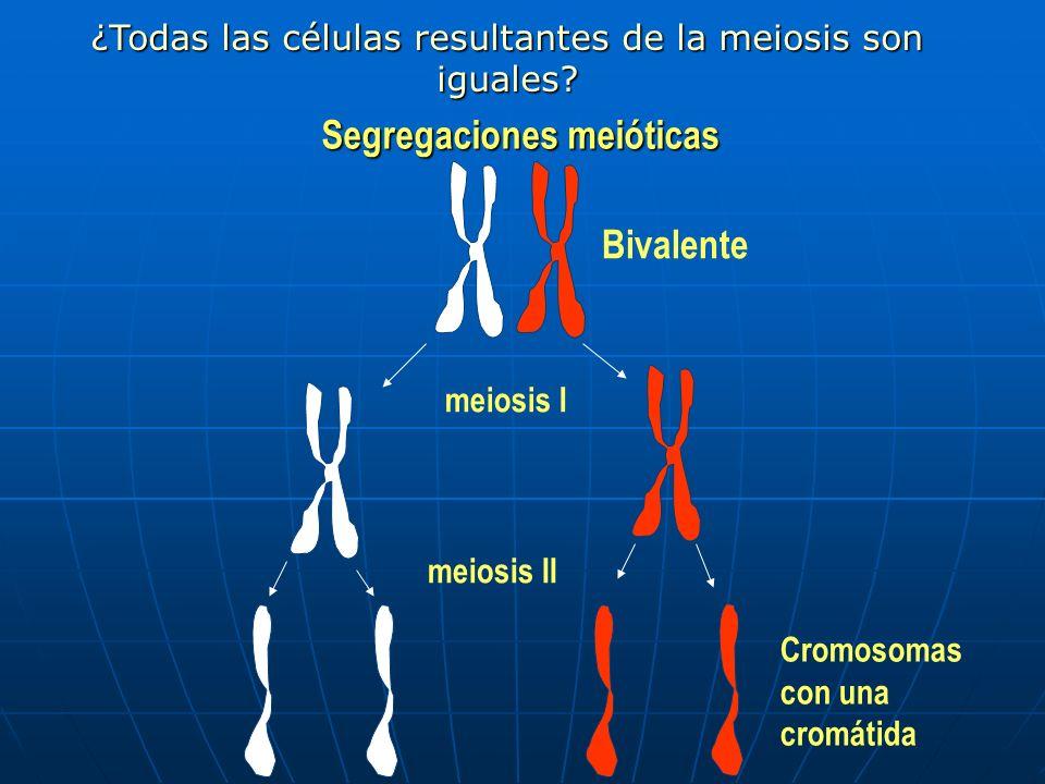Segregaciones meióticas Segregaciones meióticas Bivalente meiosis I meiosis II Cromosomas con una cromátida ¿Todas las células resultantes de la meios