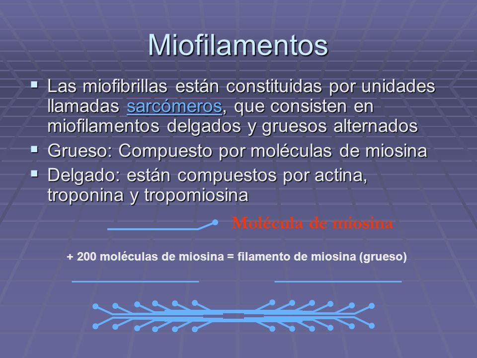 Miofilamentos Las miofibrillas están constituidas por unidades llamadas sarcómeros, que consisten en miofilamentos delgados y gruesos alternados Las m