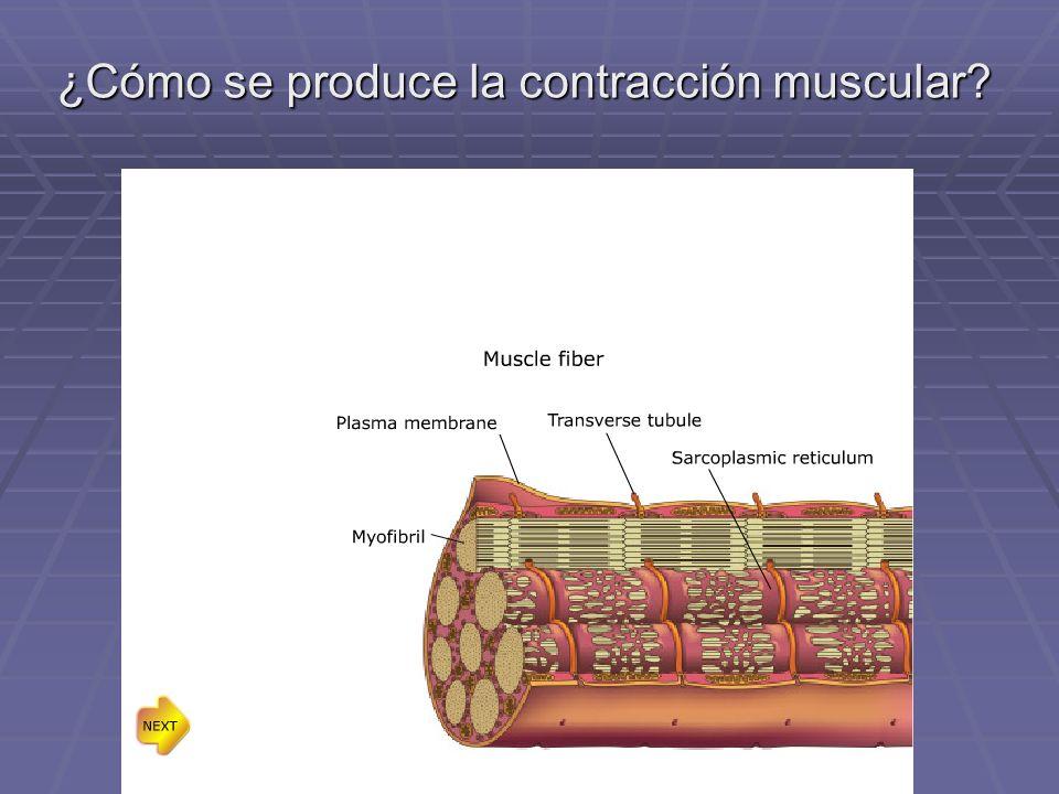 ¿Cómo se produce la contracción muscular?