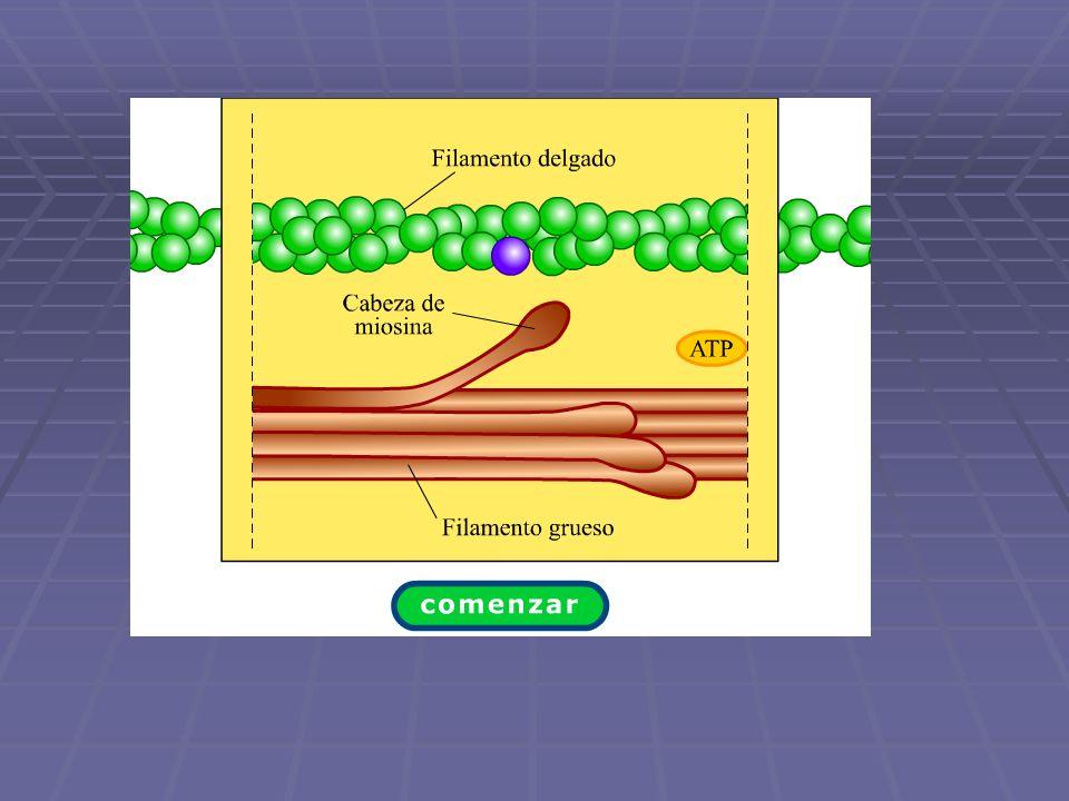 ¿Cuál es la función del Calcio, la troponina y la tropomiosina?
