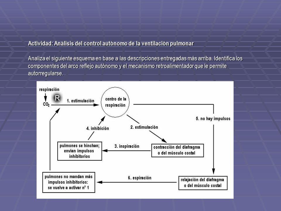Actividad: Análisis del control autónomo de la ventilación pulmonar Analiza el siguiente esquema en base a las descripciones entregadas más arriba. Id