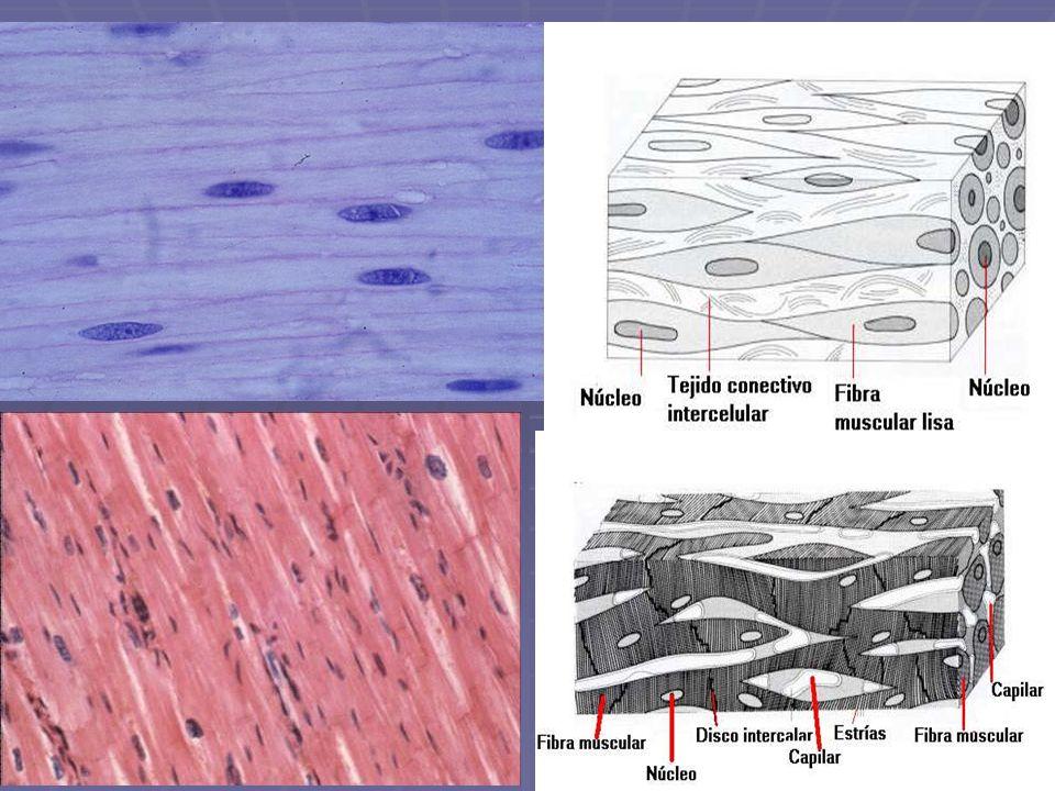 ESTRUCTURA DE LOS MUSCULOS Músculo: Agrupación de 2 o mas haces musculares Fascículos Musculares (paralelos al eje longitudinal) Músculo: Agrupación de 2 o mas haces musculares Fascículos Musculares (paralelos al eje longitudinal) Fibras Musculares Fibras Musculares Cubiertas Conjuntivas: Epimisio: membrana que rodea al músculo Epimisio: membrana que rodea al músculo Perimisio: rodea al fascículo Perimisio: rodea al fascículo Endomisio: rodea a la fibra muscular Endomisio: rodea a la fibra muscular