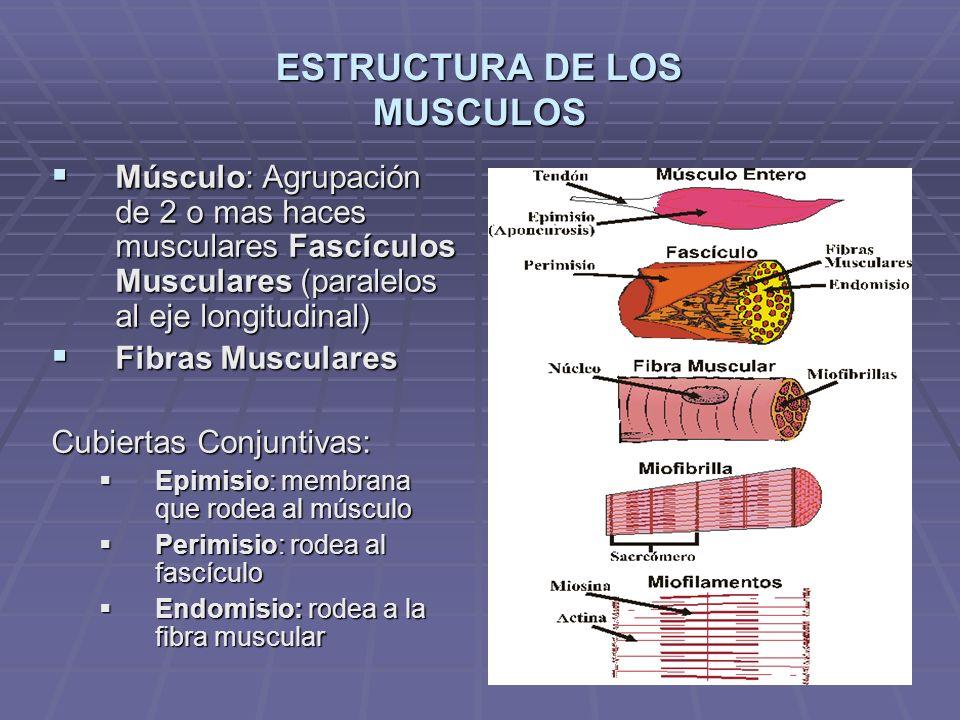 La Célula Muscular o Fibra Muscular 1.Características: 1.