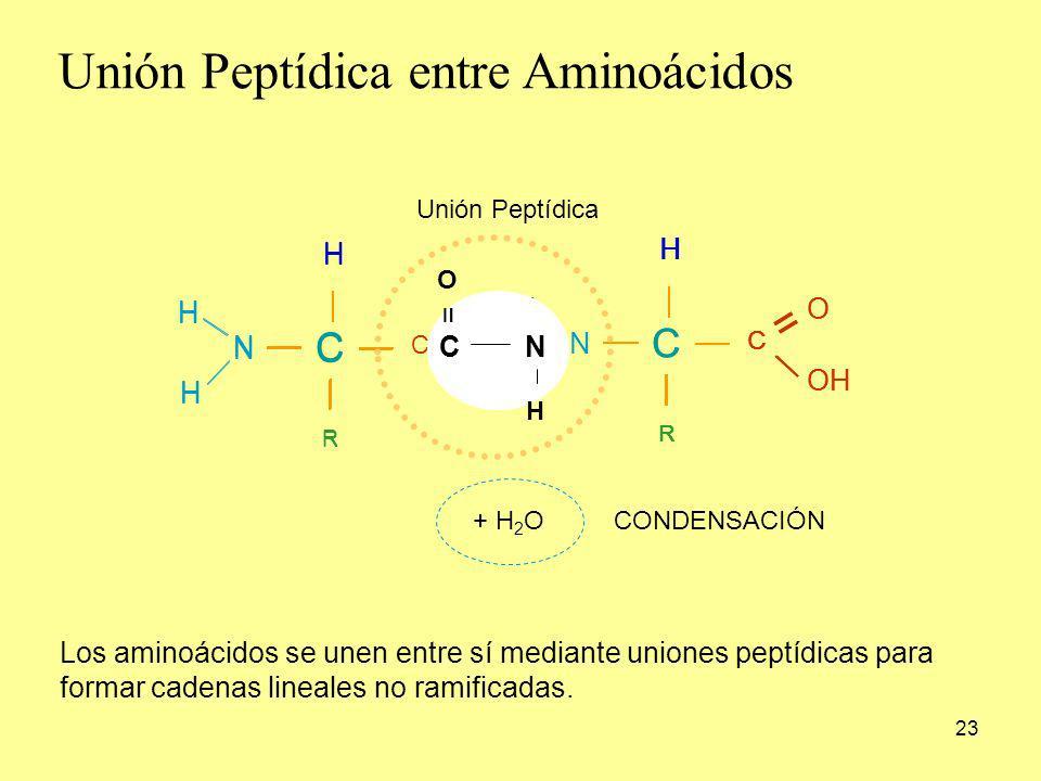 23 Los aminoácidos se unen entre sí mediante uniones peptídicas para formar cadenas lineales no ramificadas. C H R C = O OH N H H C H R C = O N H H C