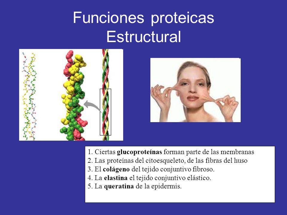 Funciones proteicas Estructural 1. Ciertas glucoproteínas forman parte de las membranas 2. Las proteínas del citoesqueleto, de las fibras del huso 3.