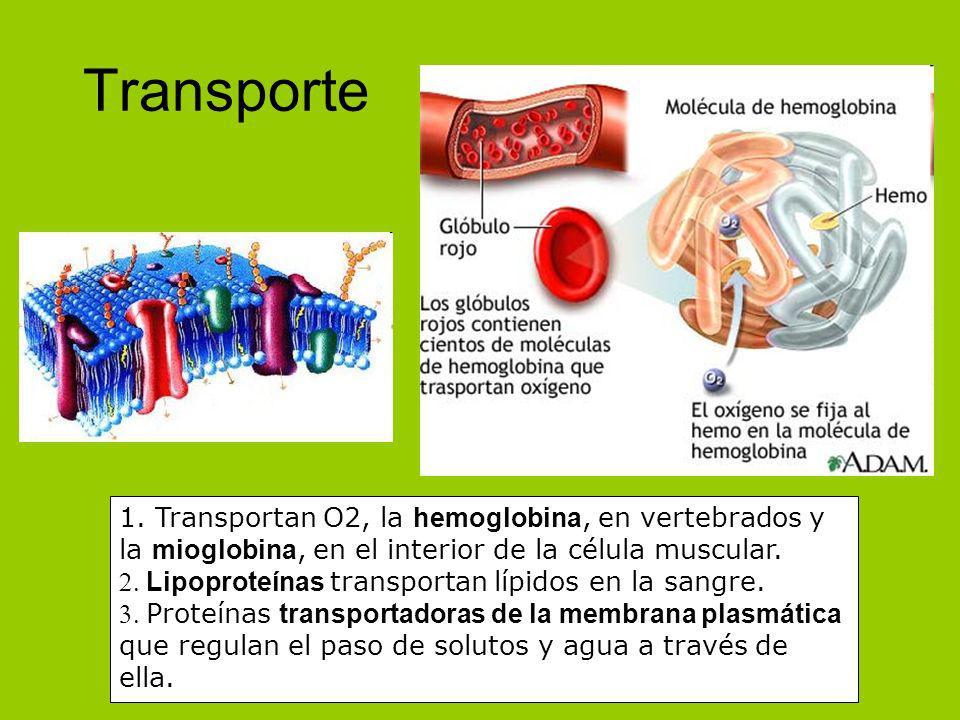 Transporte 1. Transportan O2, la hemoglobina, en vertebrados y la mioglobina, en el interior de la célula muscular. Lipoproteínas transportan lípidos