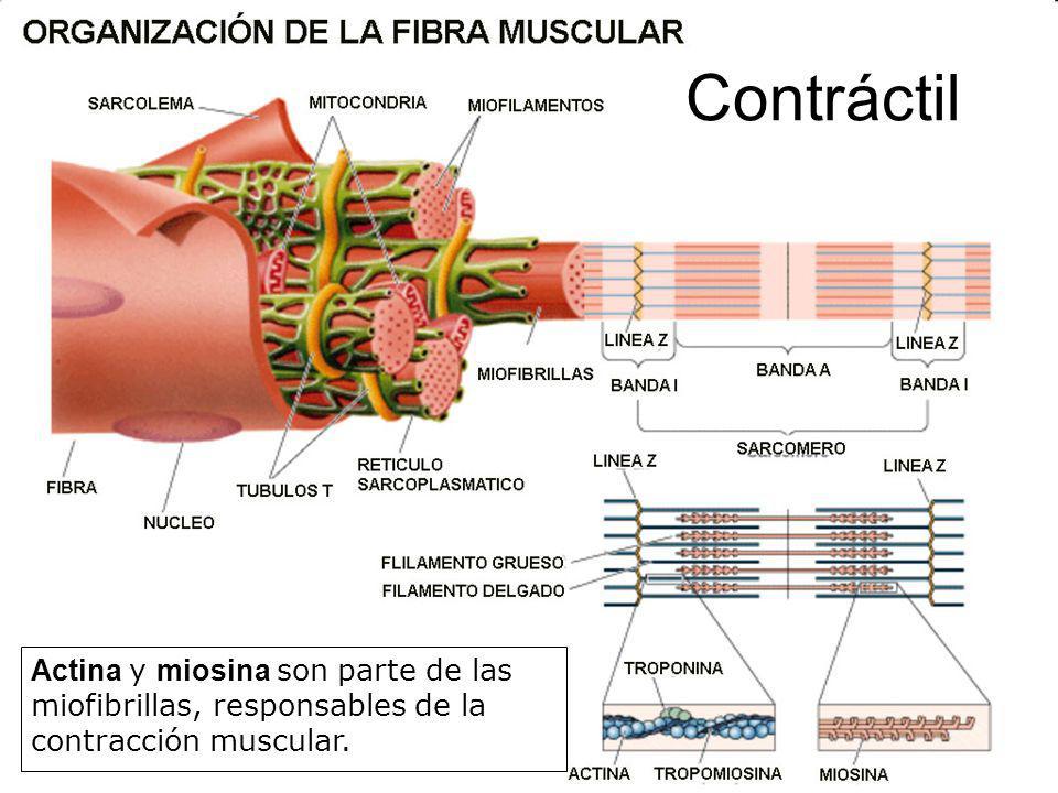 Contráctil Actina y miosina son parte de las miofibrillas, responsables de la contracción muscular.