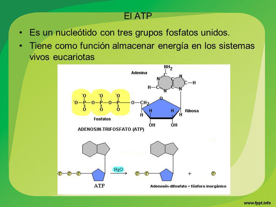 El ATP Es un nucleótido con tres grupos fosfatos unidos. Tiene como función almacenar energía en los sistemas vivos eucariotas