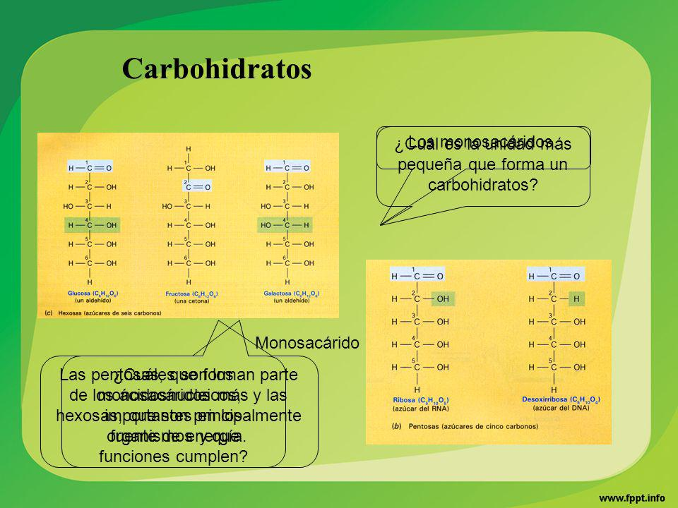 Carbohidratos ¿Cuáles son los monosacáridos más importantes en los organismos y que funciones cumplen? Monosacárido ¿Cuál es la unidad más pequeña que