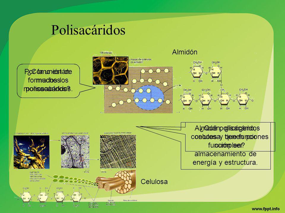 ¿Cómo están formados los polisacáridos? ¿Qué polisacáridos conoces y que funciones cumplen? Almidón Celulosa Polisacáridos Por la unión de muchos mono