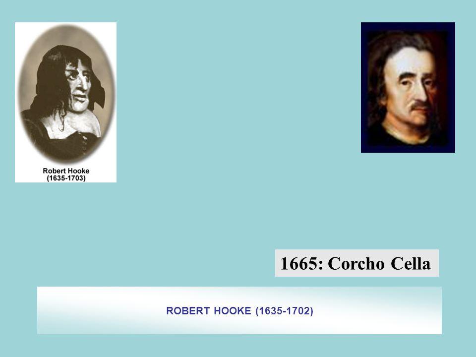 ROBERT HOOKE (1635-1702) 1665: Corcho Cella