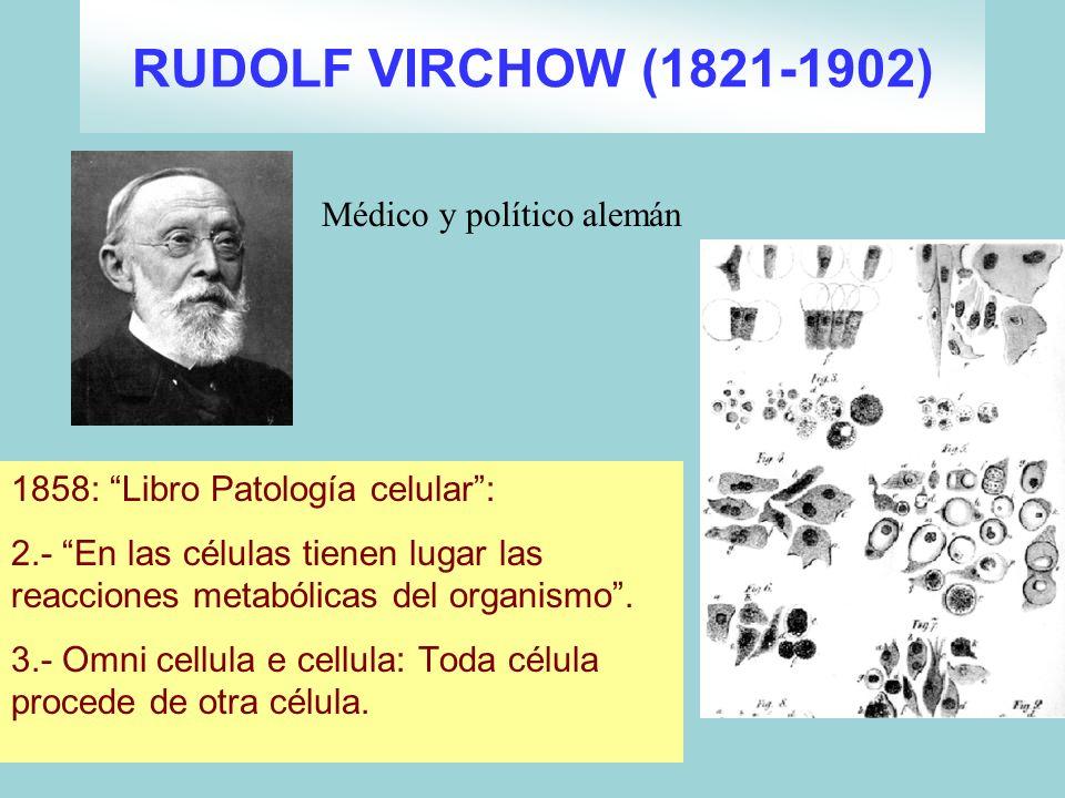 RUDOLF VIRCHOW (1821-1902) 1858: Libro Patología celular: 2.- En las células tienen lugar las reacciones metabólicas del organismo. 3.- Omni cellula e