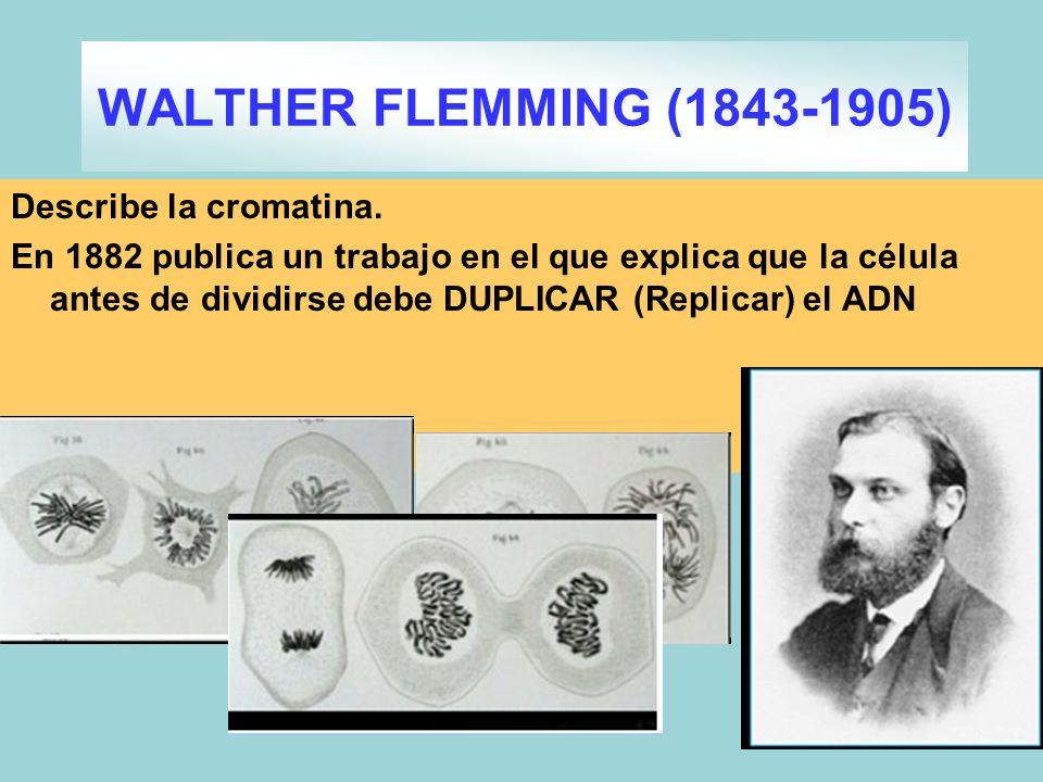 Describe la cromatina. En 1882 publica un trabajo en el que explica que la célula antes de dividirse debe DUPLICAR (Replicar) el ADN WALTHER FLEMMING