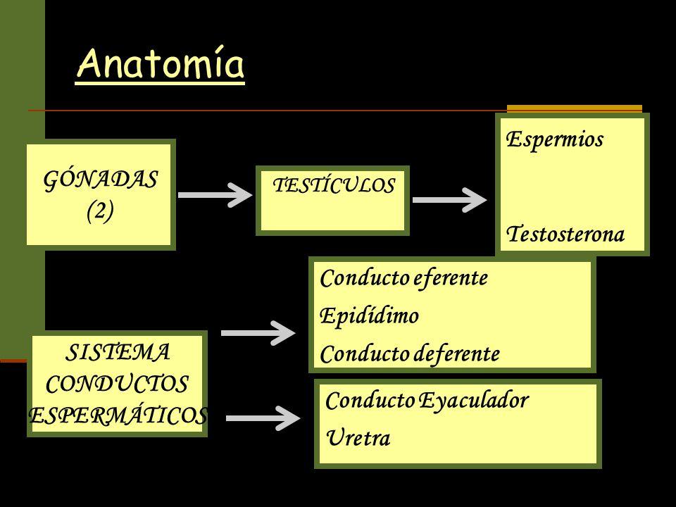Anatomía GÓNADAS (2) TESTÍCULOS Espermios Testosterona SISTEMA CONDUCTOS ESPERMÁTICOS Conducto eferente Epidídimo Conducto deferente Conducto Eyaculad