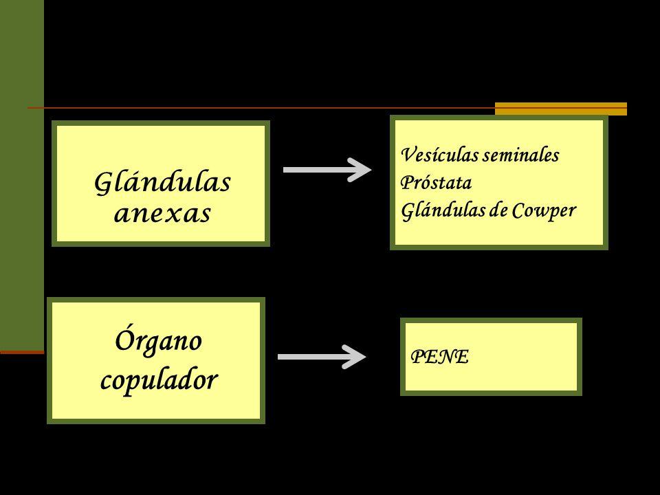 Glándulas anexas Vesículas seminales Próstata Glándulas de Cowper Órgano copulador PENE