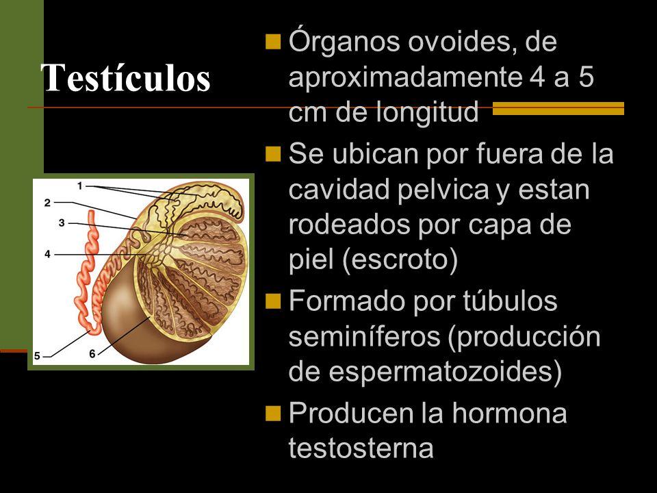 Testículos Órganos ovoides, de aproximadamente 4 a 5 cm de longitud Se ubican por fuera de la cavidad pelvica y estan rodeados por capa de piel (escro