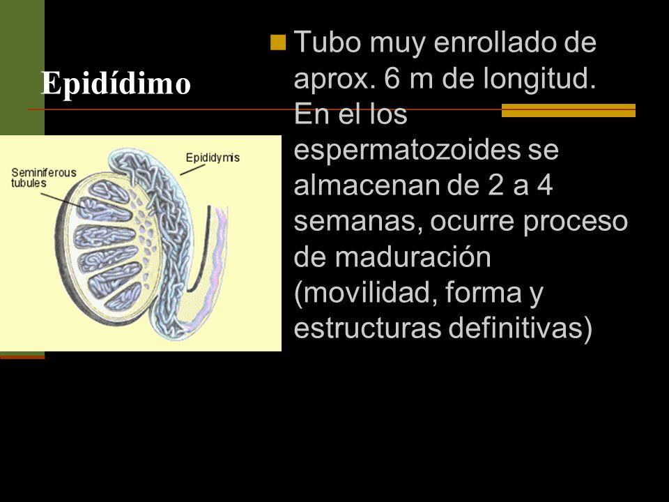 Epidídimo Tubo muy enrollado de aprox. 6 m de longitud. En el los espermatozoides se almacenan de 2 a 4 semanas, ocurre proceso de maduración (movilid