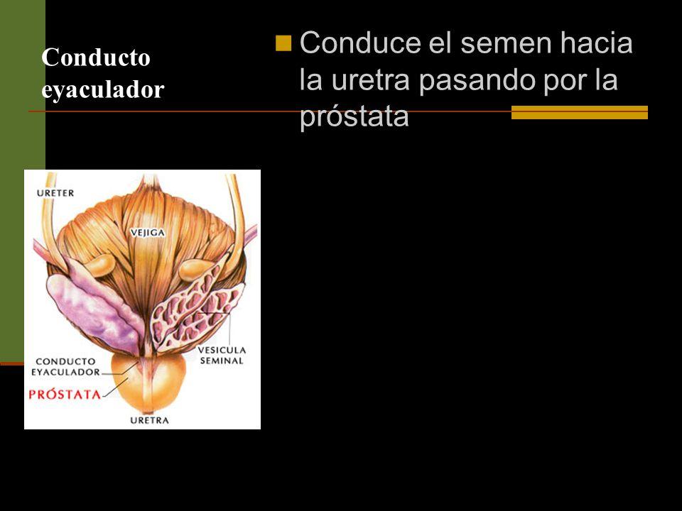 Conducto eyaculador Conduce el semen hacia la uretra pasando por la próstata