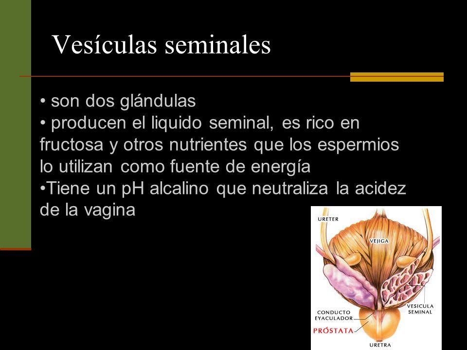 Vesículas seminales son dos glándulas producen el liquido seminal, es rico en fructosa y otros nutrientes que los espermios lo utilizan como fuente de