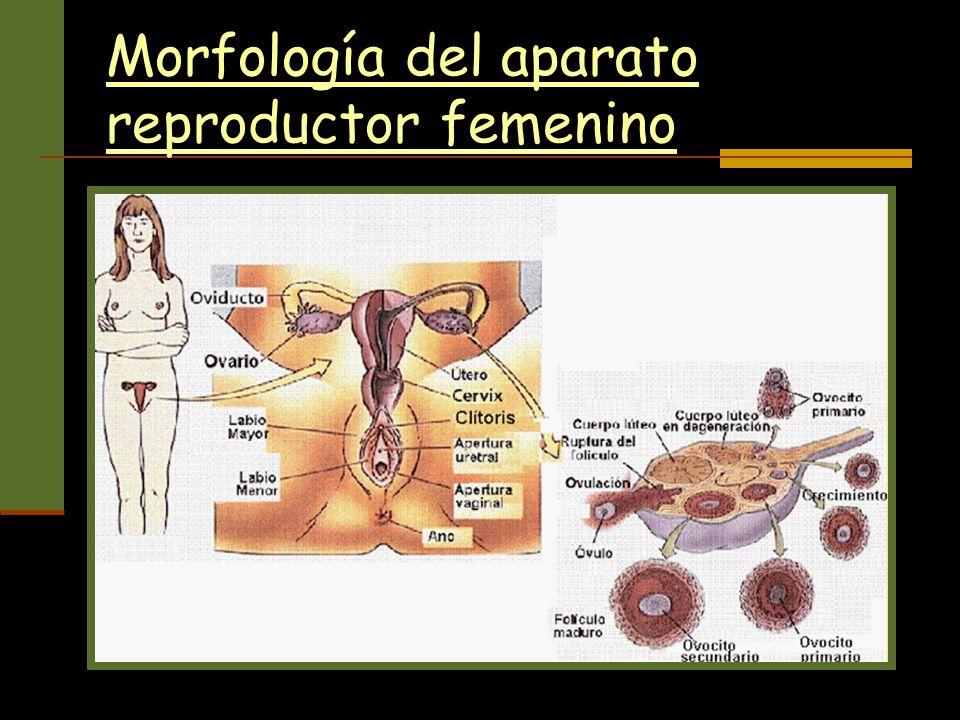 Morfología del aparato reproductor femenino
