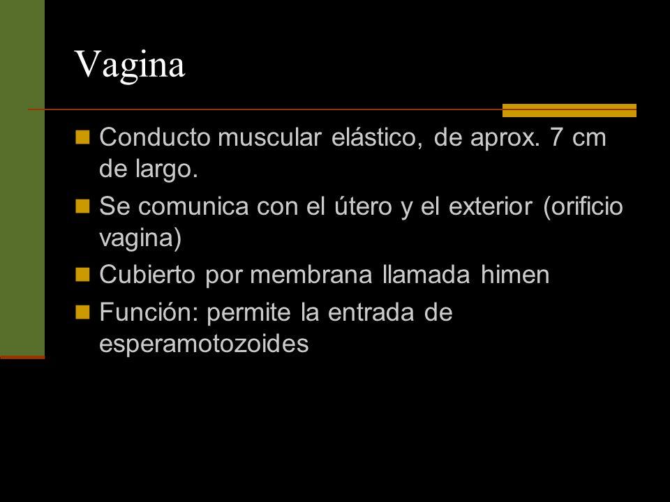 Vagina Conducto muscular elástico, de aprox. 7 cm de largo. Se comunica con el útero y el exterior (orificio vagina) Cubierto por membrana llamada him