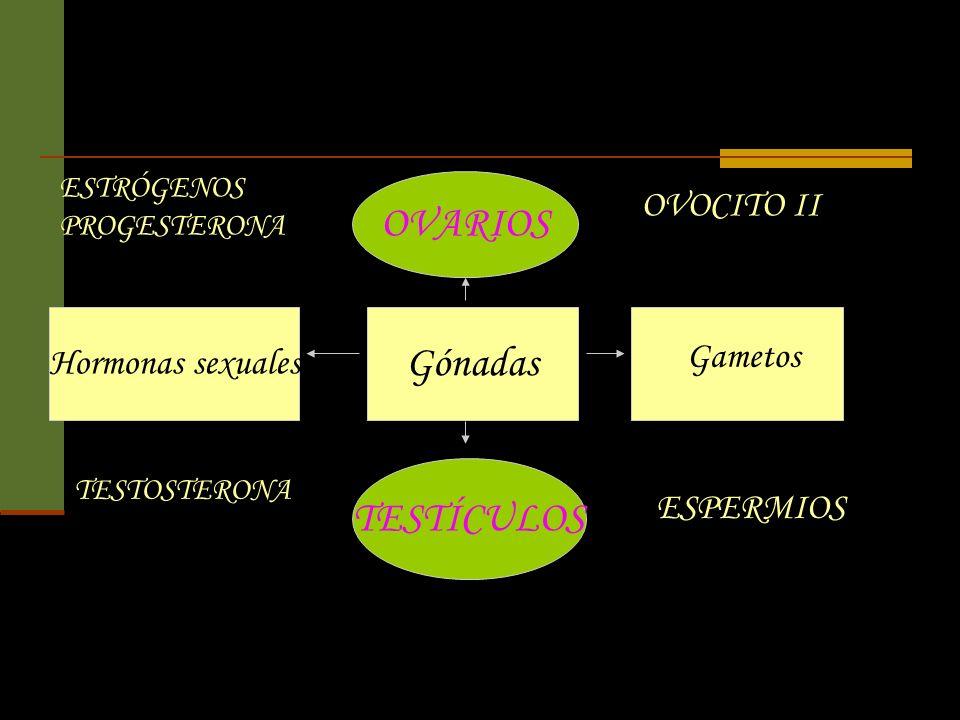 Hormonas sexuales Gónadas Gametos ESTRÓGENOS PROGESTERONA TESTOSTERONA OVARIOS TESTÍCULOS OVOCITO II ESPERMIOS