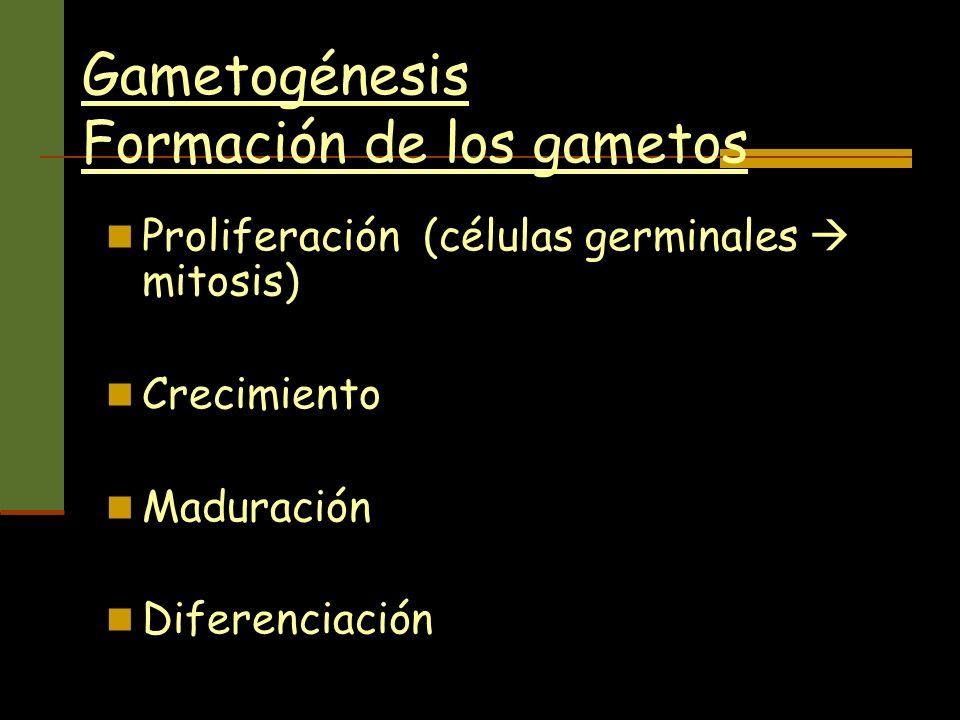 Gametogénesis Formación de los gametos Proliferación (células germinales mitosis) Crecimiento Maduración Diferenciación