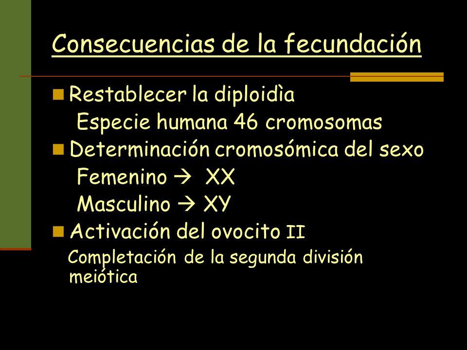 Consecuencias de la fecundación Restablecer la diploidìa Especie humana 46 cromosomas Determinación cromosómica del sexo Femenino XX Masculino XY Acti