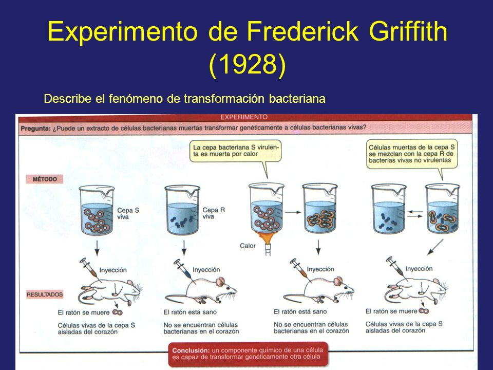 Experimento de Frederick Griffith (1928) Describe el fenómeno de transformación bacteriana