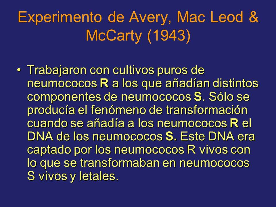 Experimento de Avery, Mac Leod & McCarty (1943) Trabajaron con cultivos puros de neumococos R a los que añadían distintos componentes de neumococos S.
