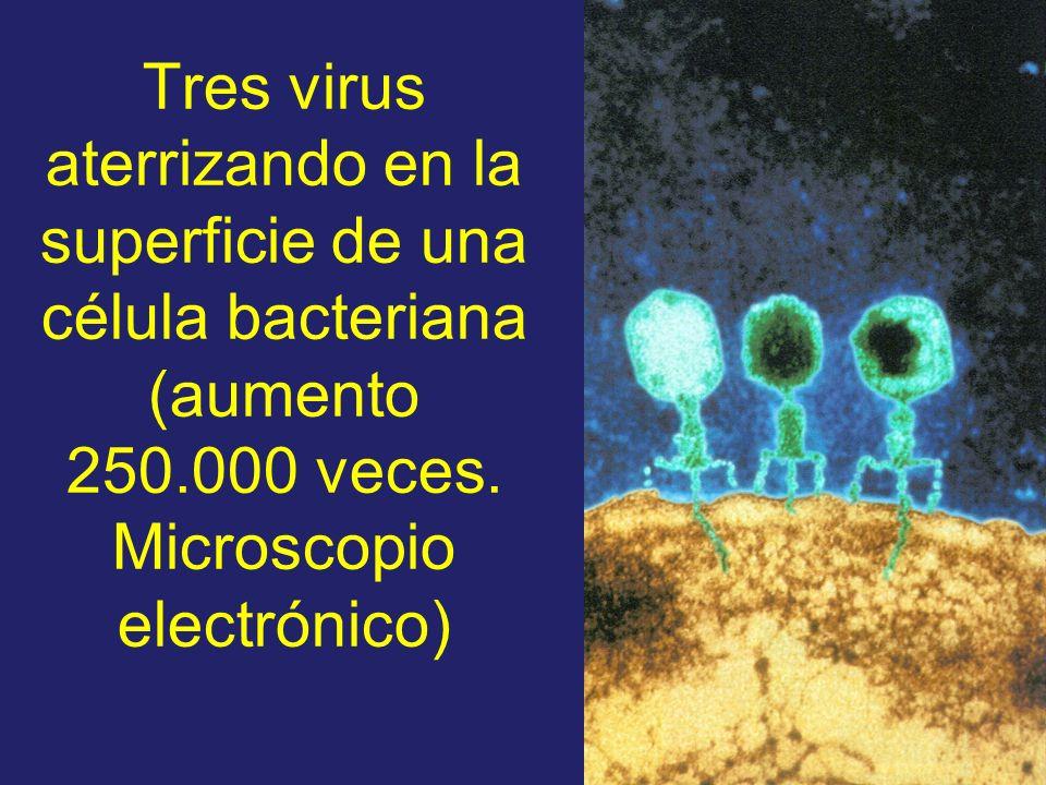 Tres virus aterrizando en la superficie de una célula bacteriana (aumento 250.000 veces. Microscopio electrónico)