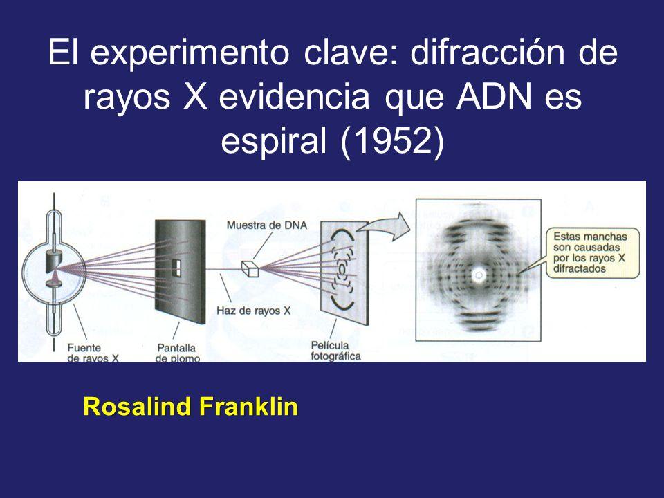 El experimento clave: difracción de rayos X evidencia que ADN es espiral (1952) Rosalind Franklin