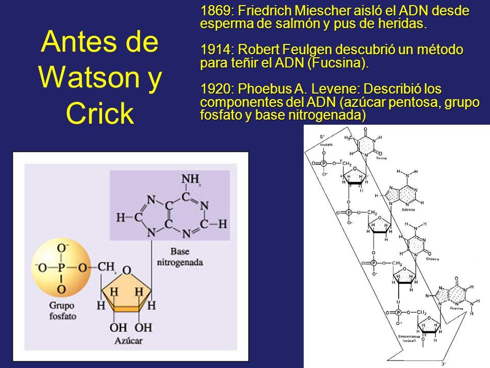 1869: Friedrich Miescher aisló el ADN desde esperma de salmón y pus de heridas. 1914: Robert Feulgen descubrió un método para teñir el ADN (Fucsina).