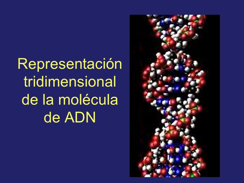Representación tridimensional de la molécula de ADN