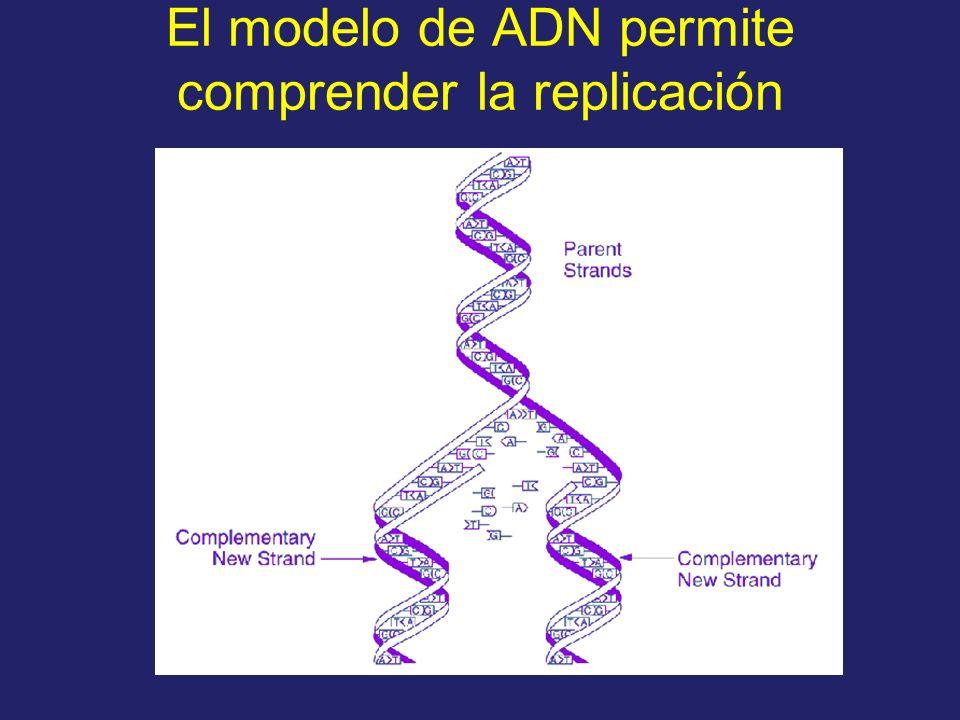 El modelo de ADN permite comprender la replicación