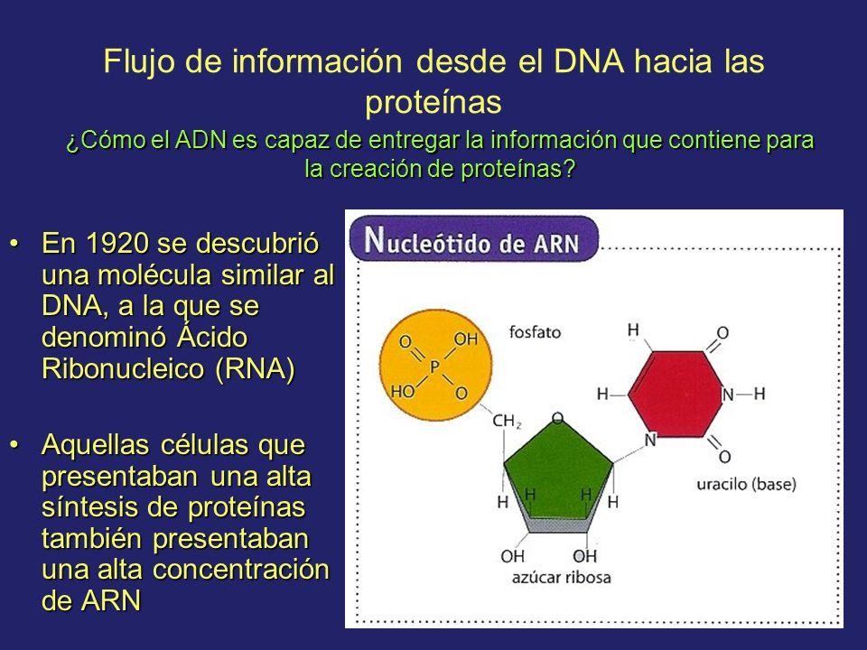 Flujo de información desde el DNA hacia las proteínas En 1920 se descubrió una molécula similar al DNA, a la que se denominó Ácido Ribonucleico (RNA)E
