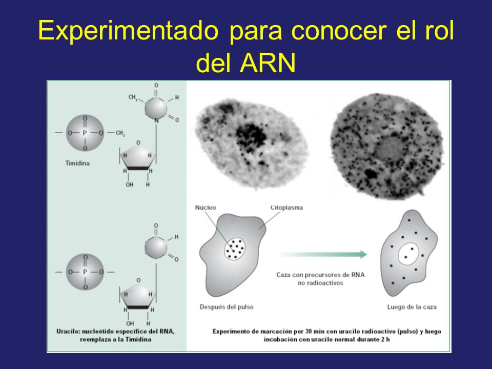 Experimentado para conocer el rol del ARN