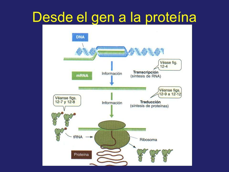 Desde el gen a la proteína