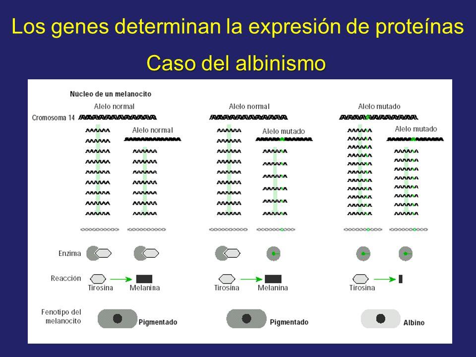 Los genes determinan la expresión de proteínas Caso del albinismo