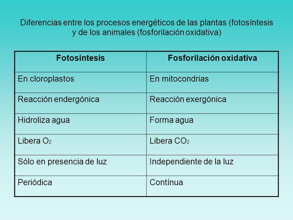 Diferencias entre los procesos energéticos de las plantas (fotosíntesis y de los animales (fosforilación oxidativa) FotosíntesisFosforilación oxidativ