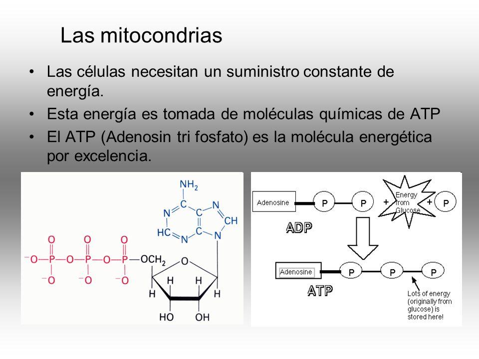 Las mitocondrias Las células necesitan un suministro constante de energía. Esta energía es tomada de moléculas químicas de ATP El ATP (Adenosin tri fo