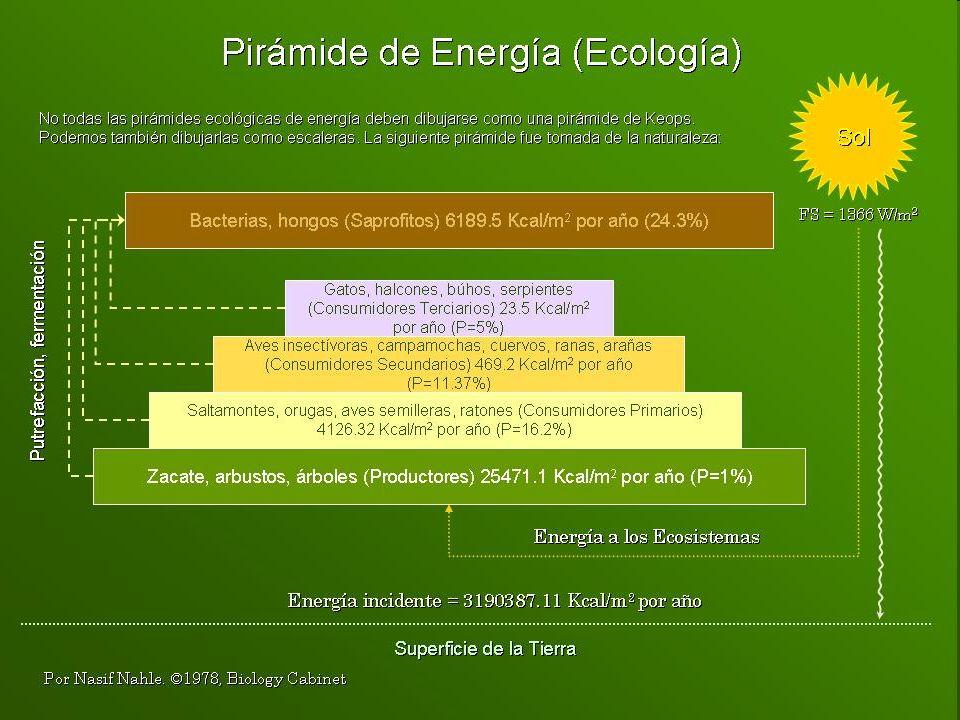 Diferencias entre los procesos energéticos de las plantas (fotosíntesis y de los animales (fosforilación oxidativa) FotosíntesisFosforilación oxidativa En cloroplastosEn mitocondrias Reacción endergónicaReacción exergónica Hidroliza aguaForma agua Libera O 2 Libera CO 2 Sólo en presencia de luzIndependiente de la luz PeriódicaContínua
