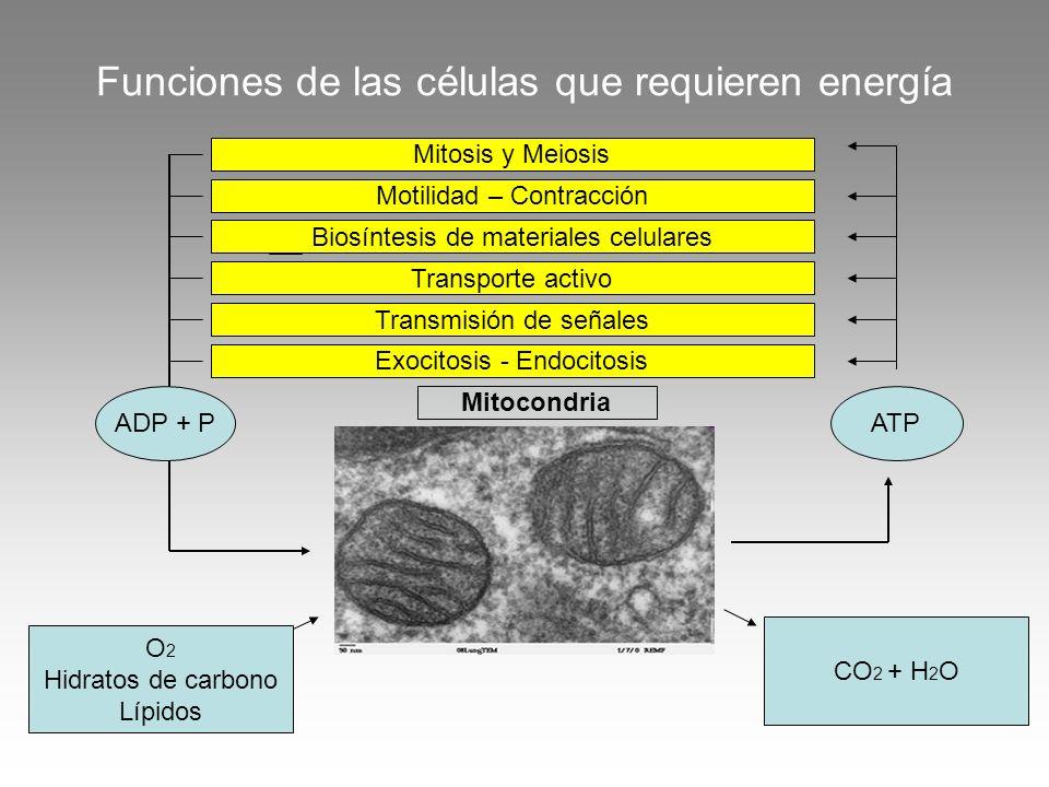Funciones de las células que requieren energía Mitocondria ADP + PATP O 2 Hidratos de carbono Lípidos CO 2 + H 2 O Mitosis y Meiosis Motilidad – Contr