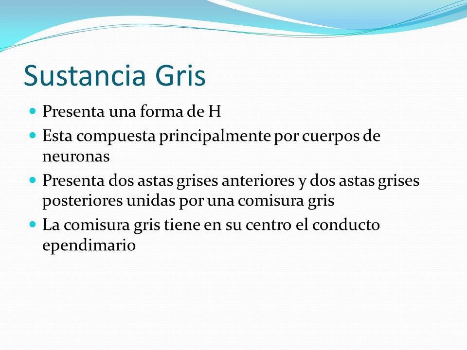 Sustancia Gris Presenta una forma de H Esta compuesta principalmente por cuerpos de neuronas Presenta dos astas grises anteriores y dos astas grises p