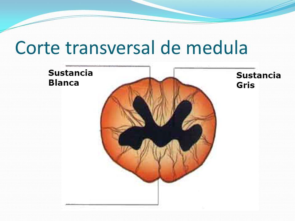 Corte transversal de medula Sustancia Gris Sustancia Blanca