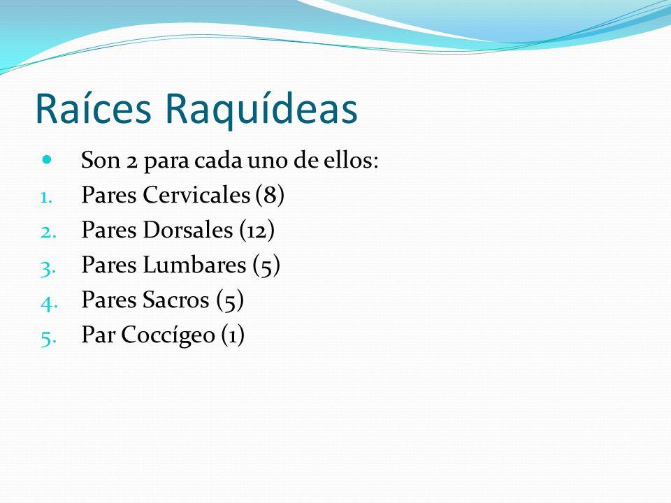 Raíces Raquídeas Son 2 para cada uno de ellos: 1. Pares Cervicales (8) 2. Pares Dorsales (12) 3. Pares Lumbares (5) 4. Pares Sacros (5) 5. Par Coccíge